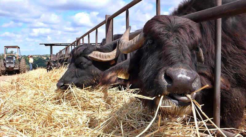 Le bufale siciliane al pascolo per produrre mozzarella