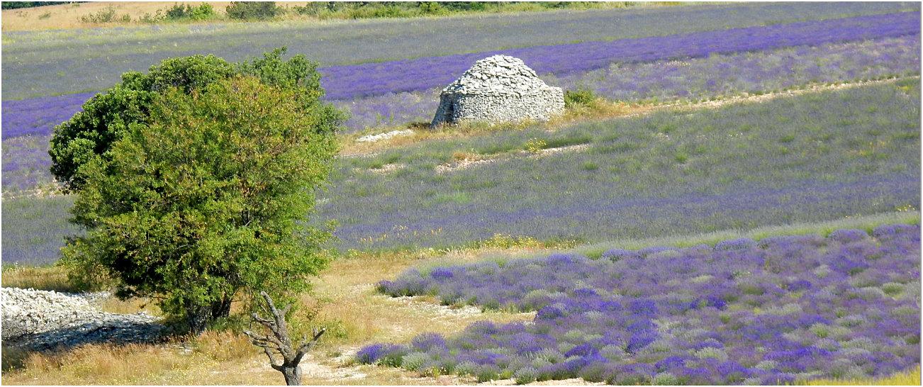 """Un tipico """"borie"""", rifugio in pietra per i pastori tra i campi di lavanda"""