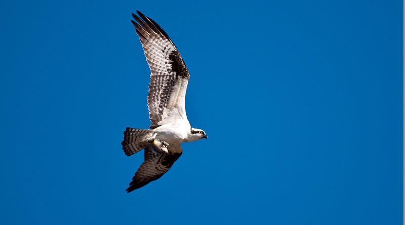 Un falco in volo a Remuzat