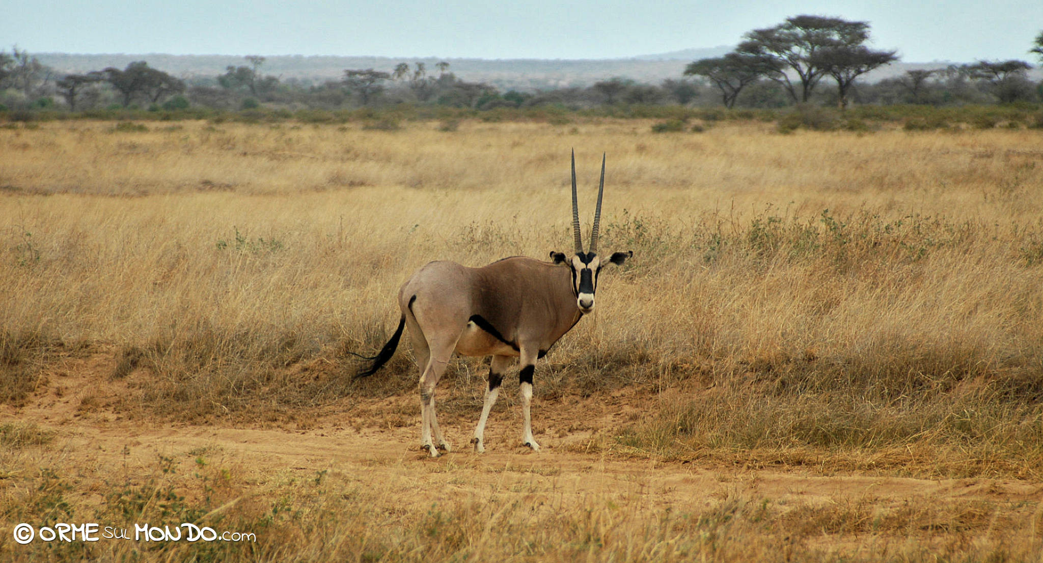 Un'antilope nello Shaba National Park