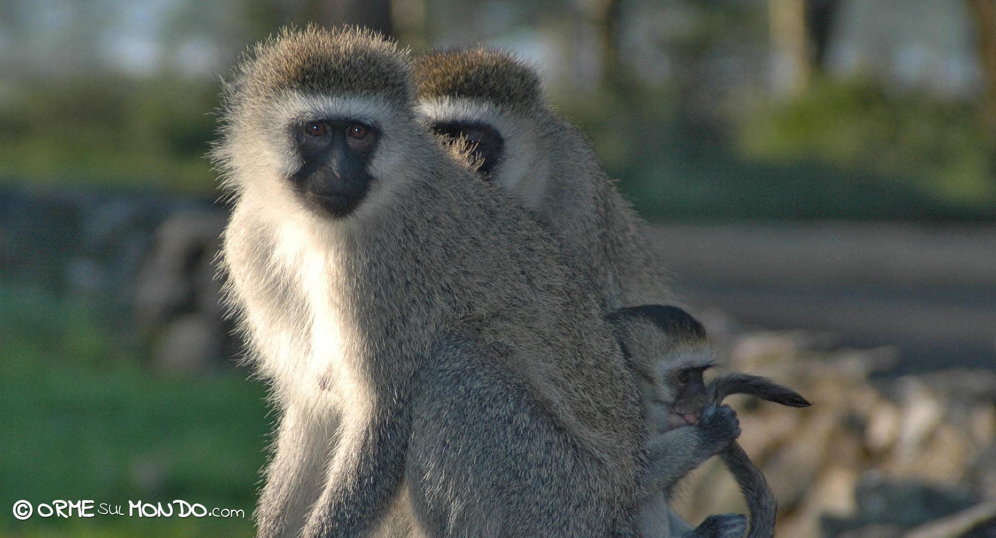 babbuini animali kenya
