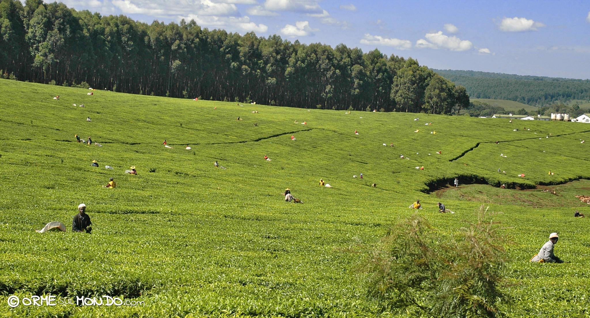 Braccianti al lavoro nelle coltivazioni di tè a Kericho