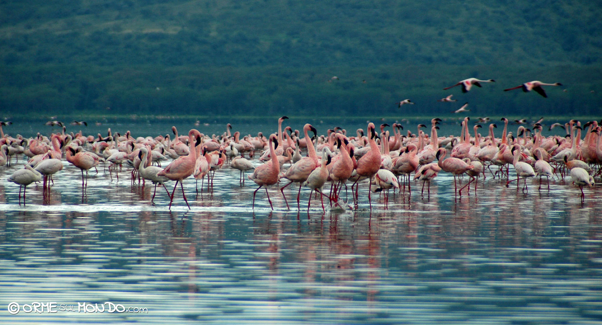 Migliaia di fenicotteri rosa al Nakuru National Park