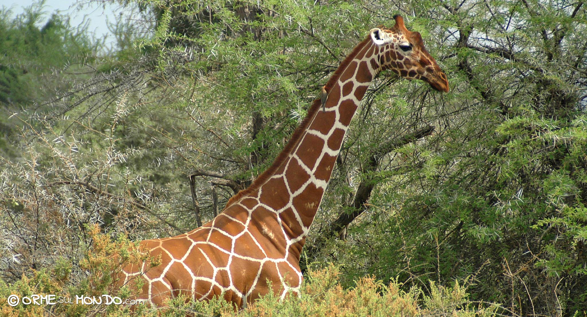 Una giraffa si mimetizza con la vegetazione allo Shaba National Park