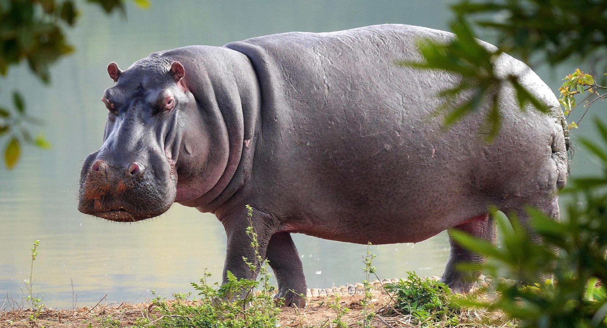 Un ippopotamo ci fissa minaccioso