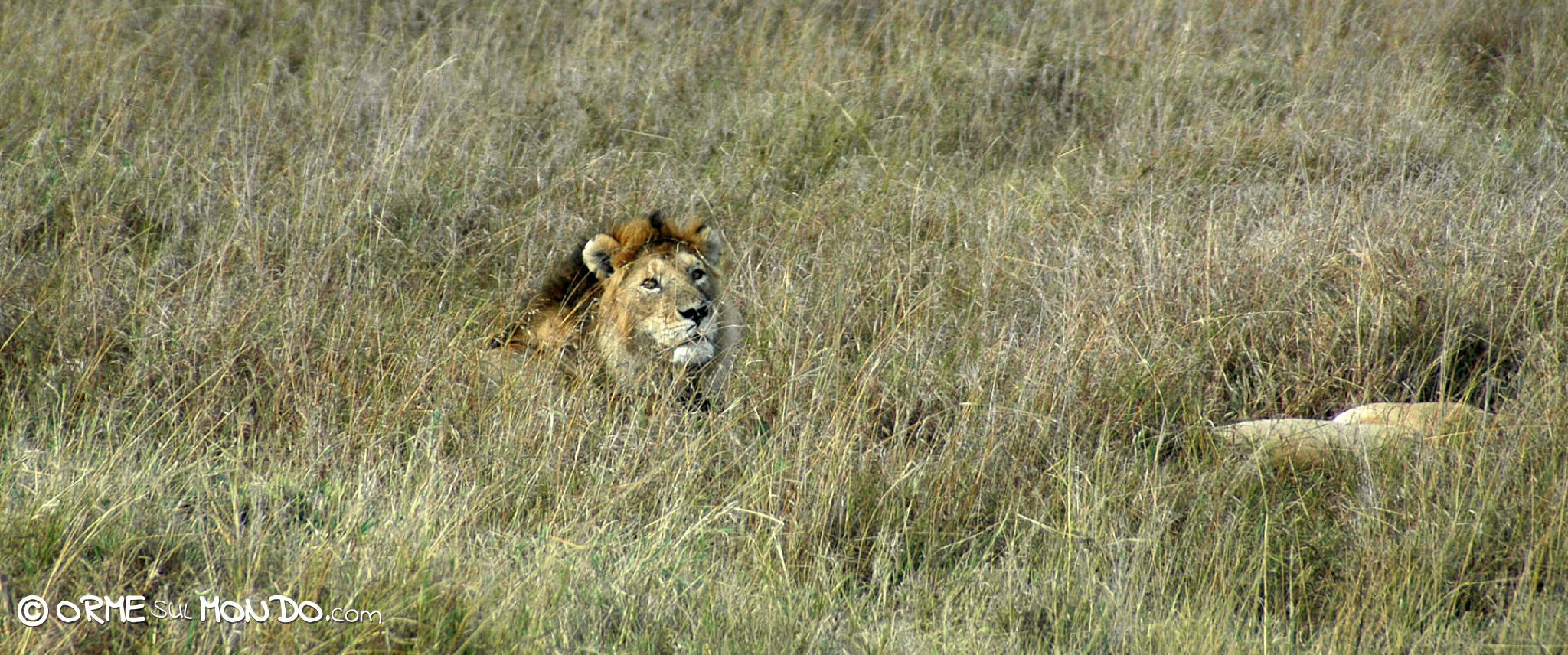 Leoni accucciati nella savana del Masai Mara