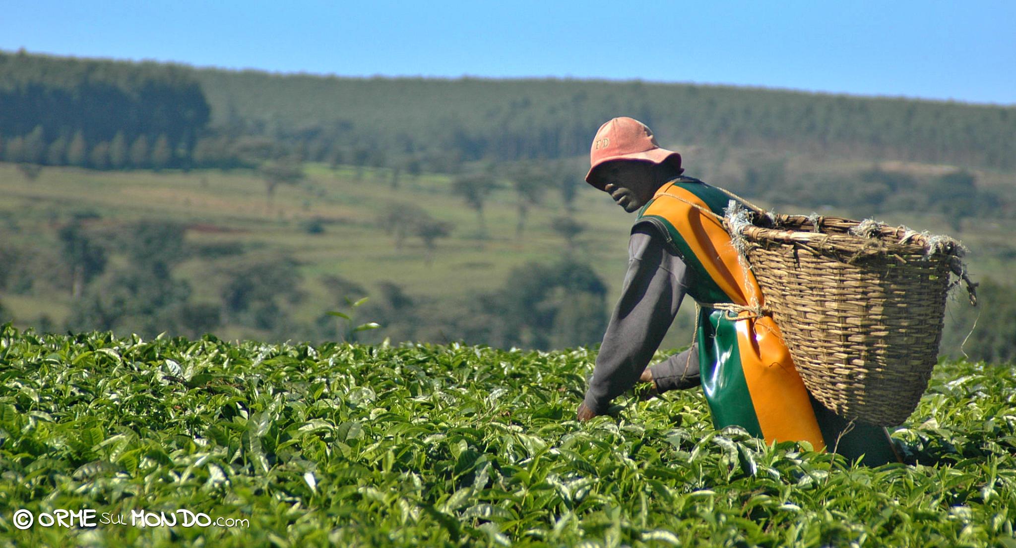 Bracciante al lavoro nelle piantagioni di tè a Kericho