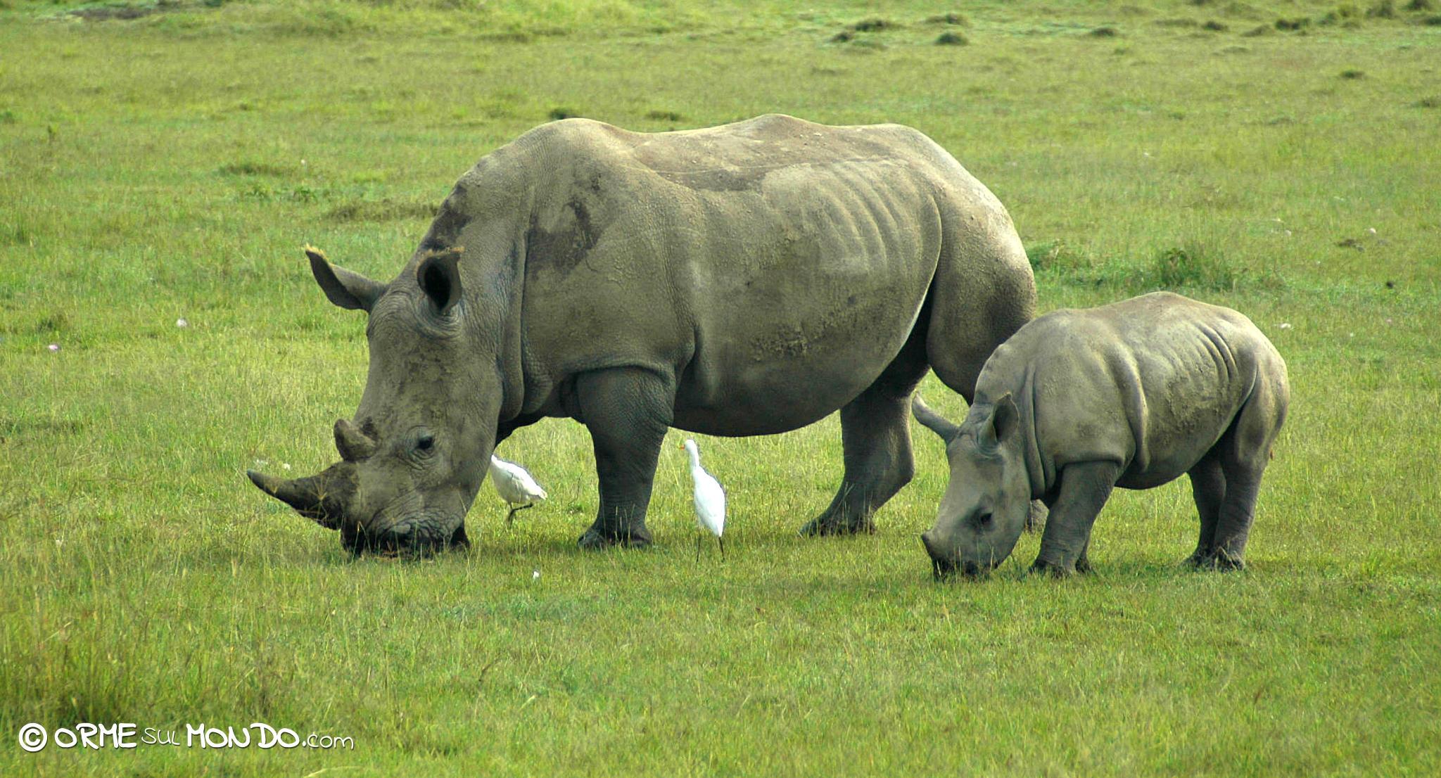 Al lago Nakuru risultano presenti più di 25 rinoceronti neri (una delle più grandi concentrazioni del Paese), e circa 70 rinoceronti bianchi