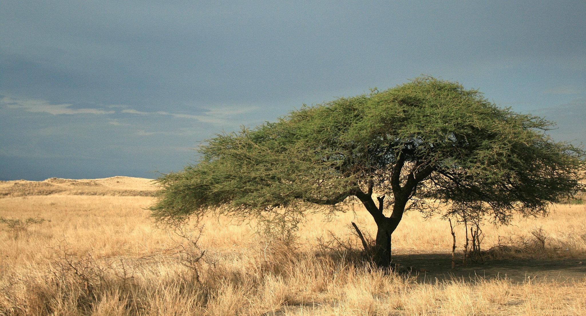 Una pianta di acacia ad ombrello nella savana
