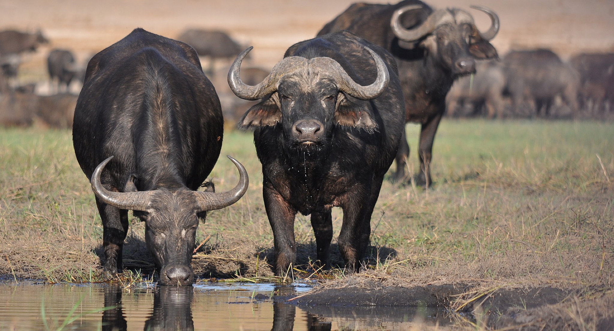 Mandrie di bufali nel Chobe National Park
