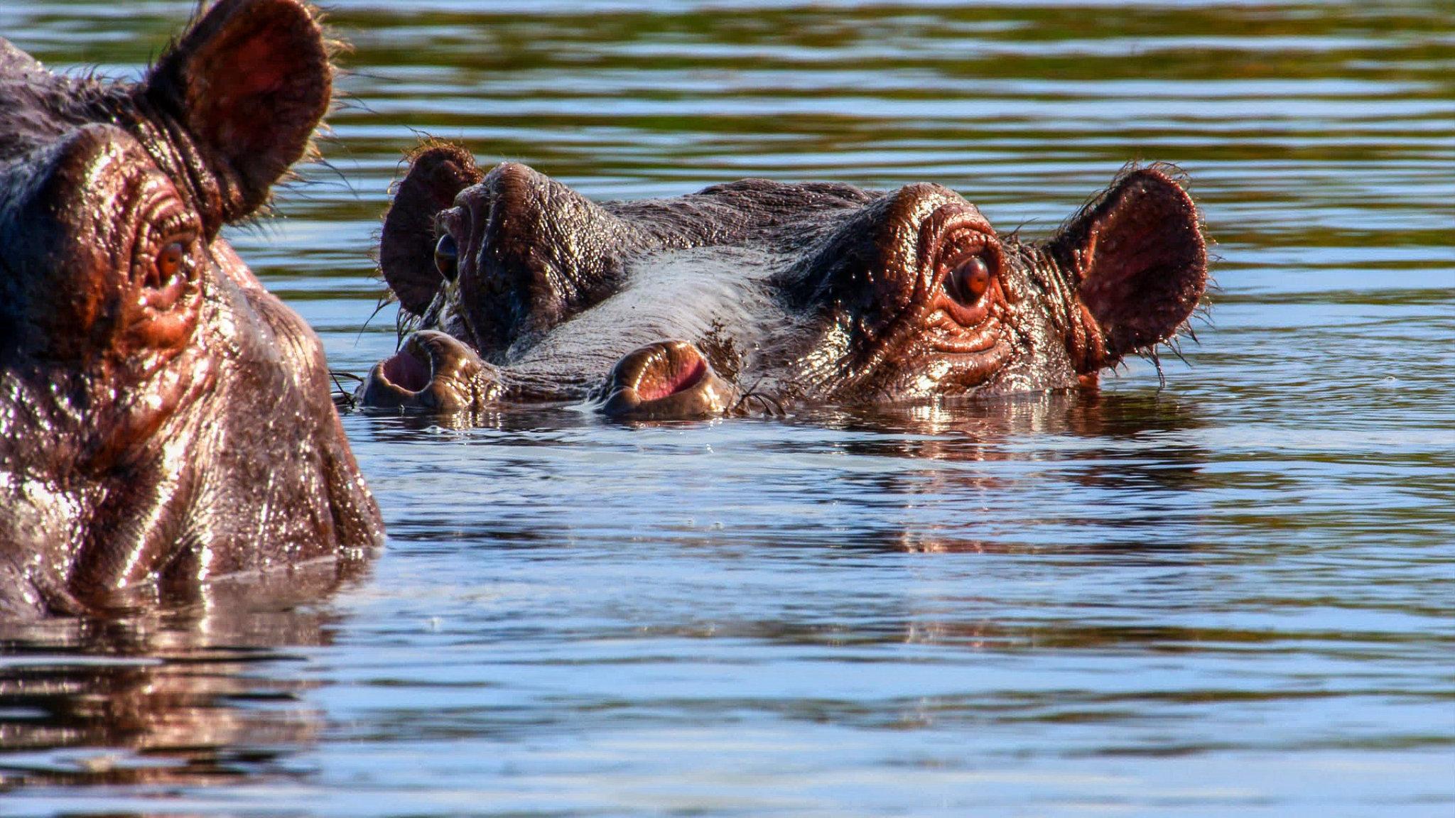 Ippopotami nel Chobe National Park