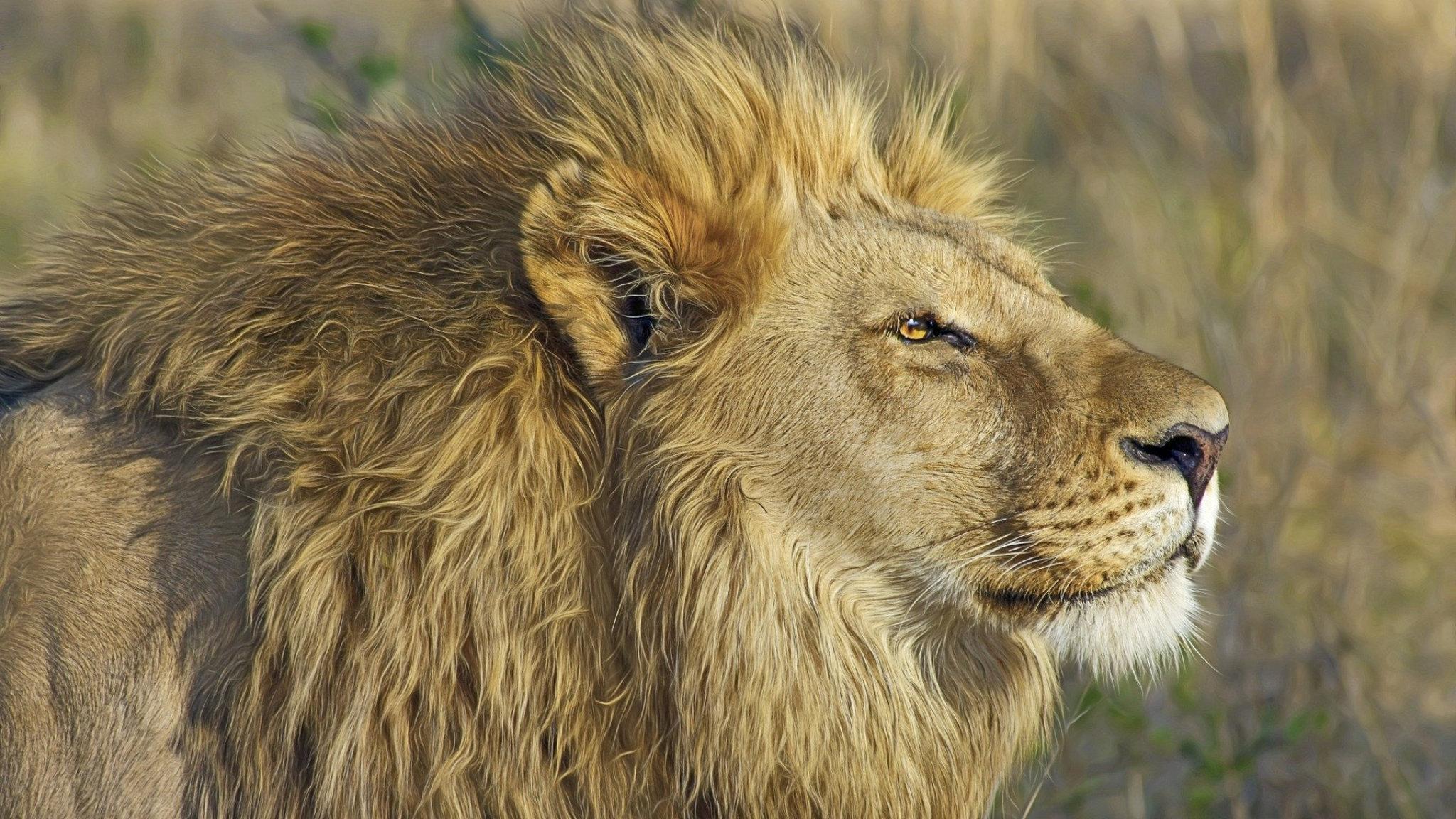 leone africano moremi reserve botswana featured