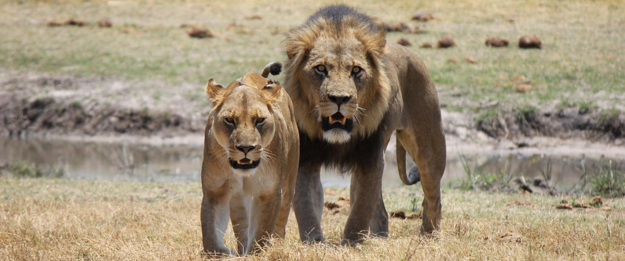 leone africano savana botswana hero image 1