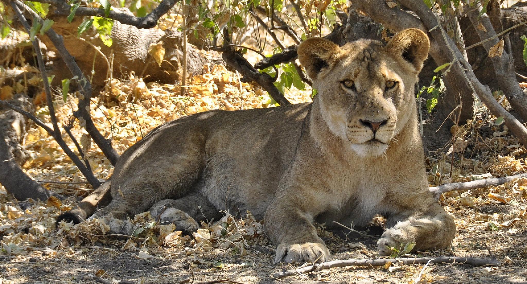Un leone in attesa di cacciare la preda