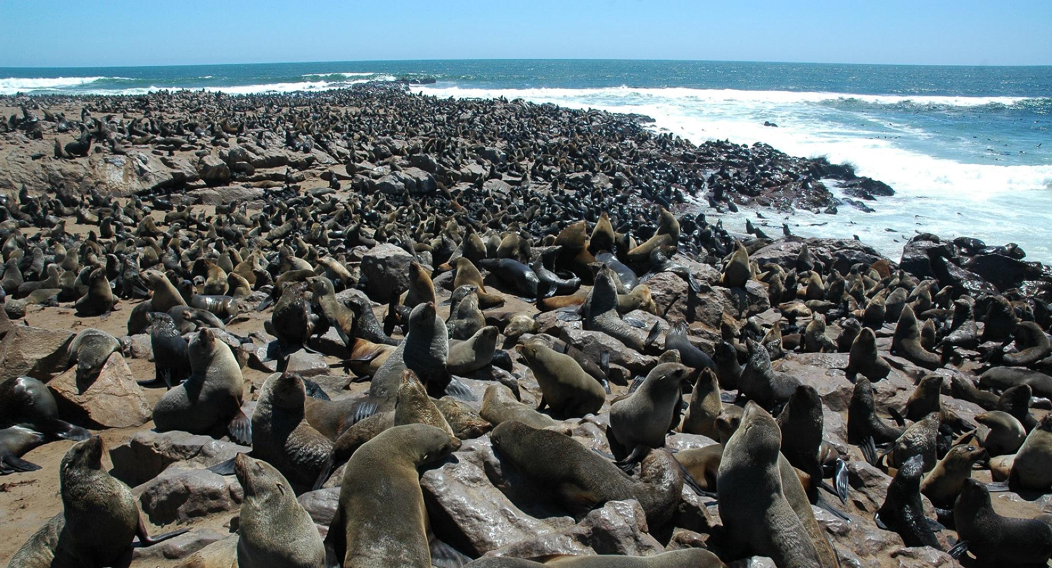 La gigantesca colonia di otarie a Cape Cross