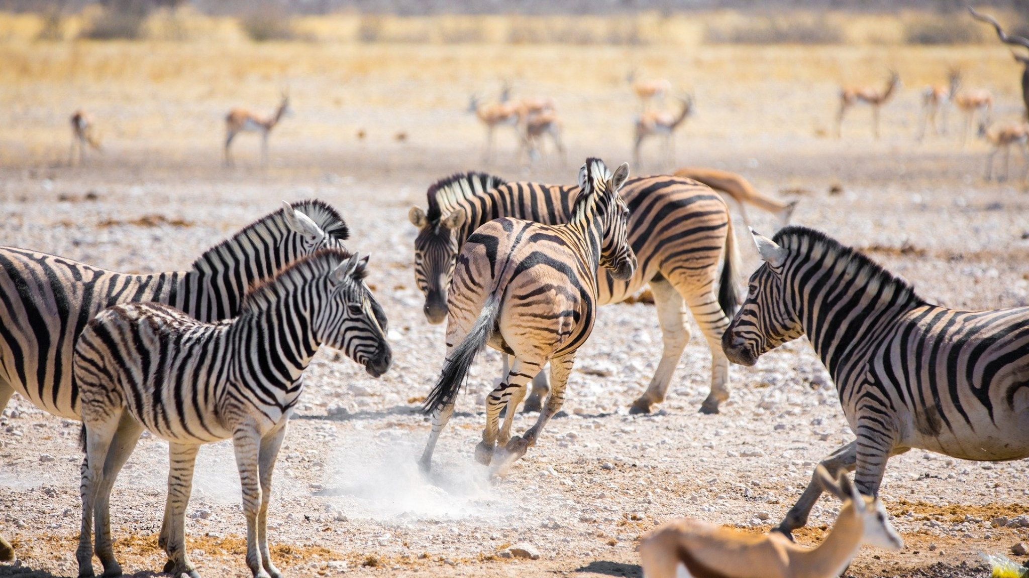 zebre africa savana botswana featured